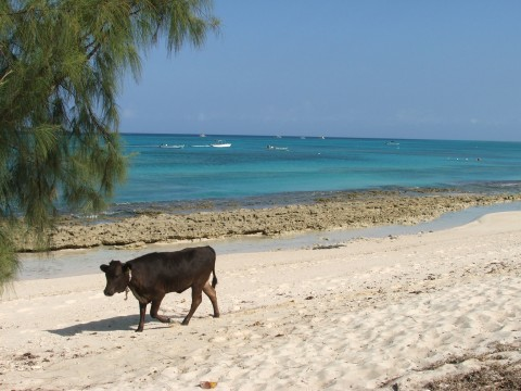 Cow on beach